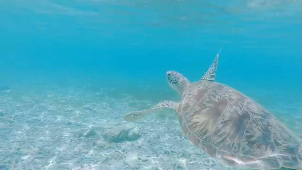 Schildkröte-gili-island
