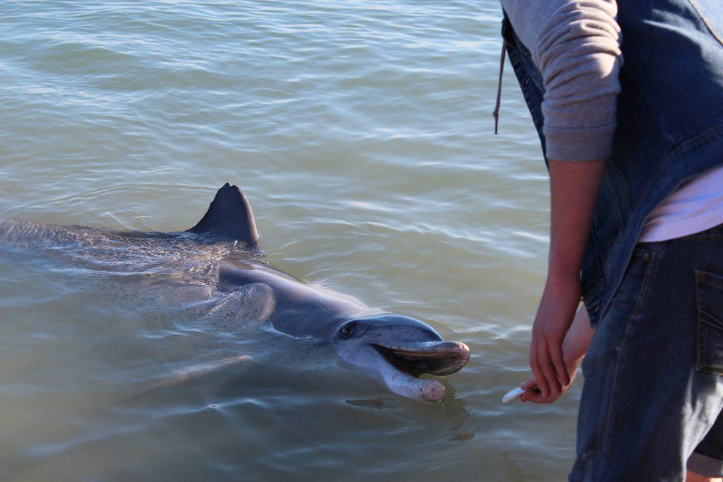 Wilde Delfine füttern in Monkey Mia (Australia)